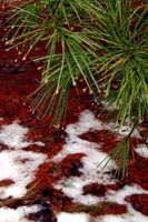 wet white pines, pine needles + snow