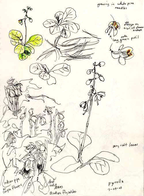 sketch of pyrolla & Indian pipes, Forest County, PA